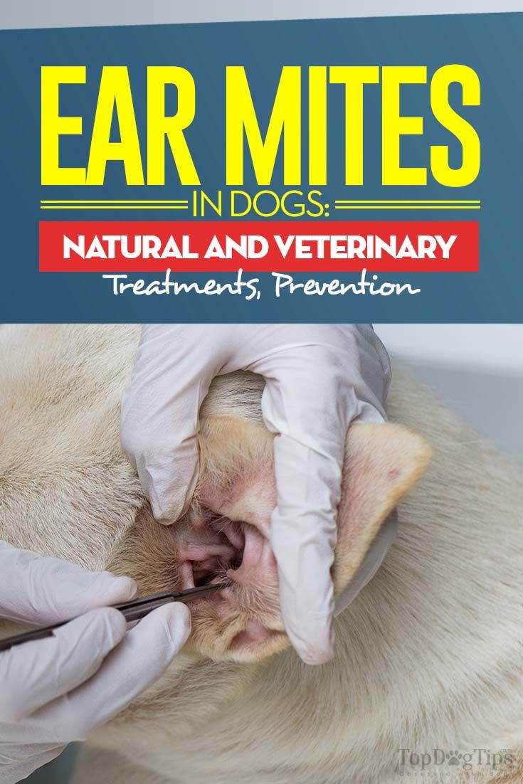 Ear mite in dogs. Treatment and prevention