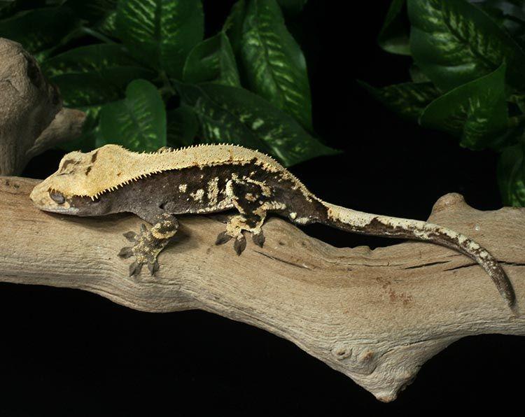 Crested Gecko for sale Fr2