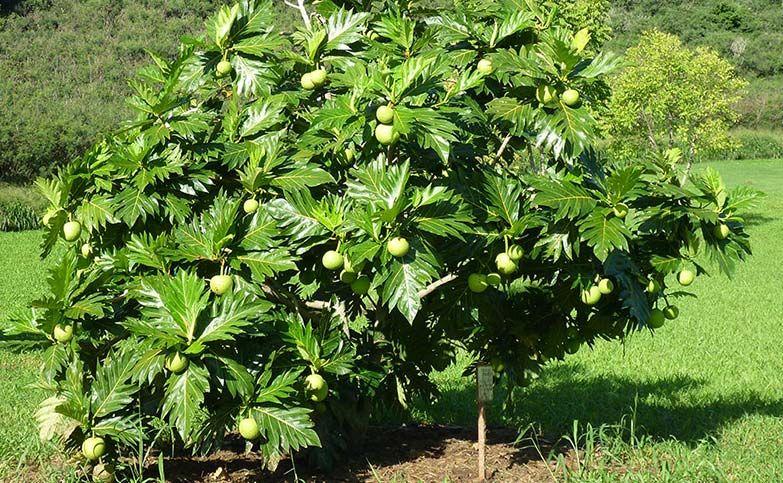 Behold The Breadfruit Garden In Delight Breadfruit Hawaiian