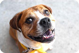 Detroit, MI English Bulldog/Beagle Mix. Meet Tyson a Dog