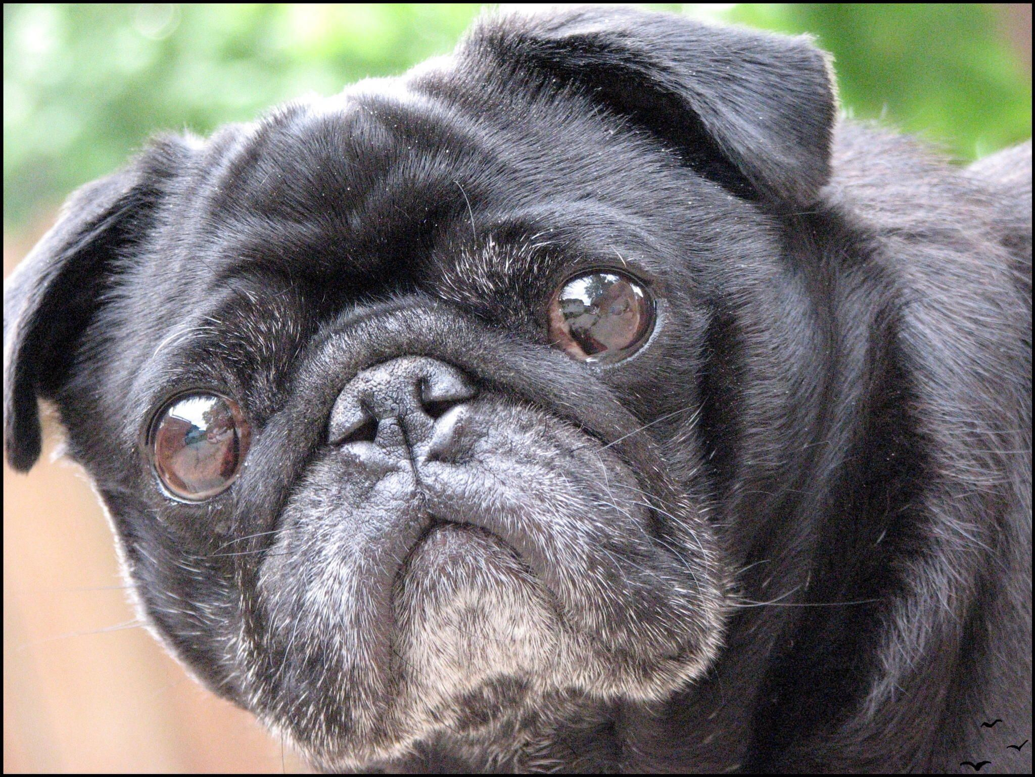 Old Black Pug Looks Like My Penny Black Pug Pugs Pug Love