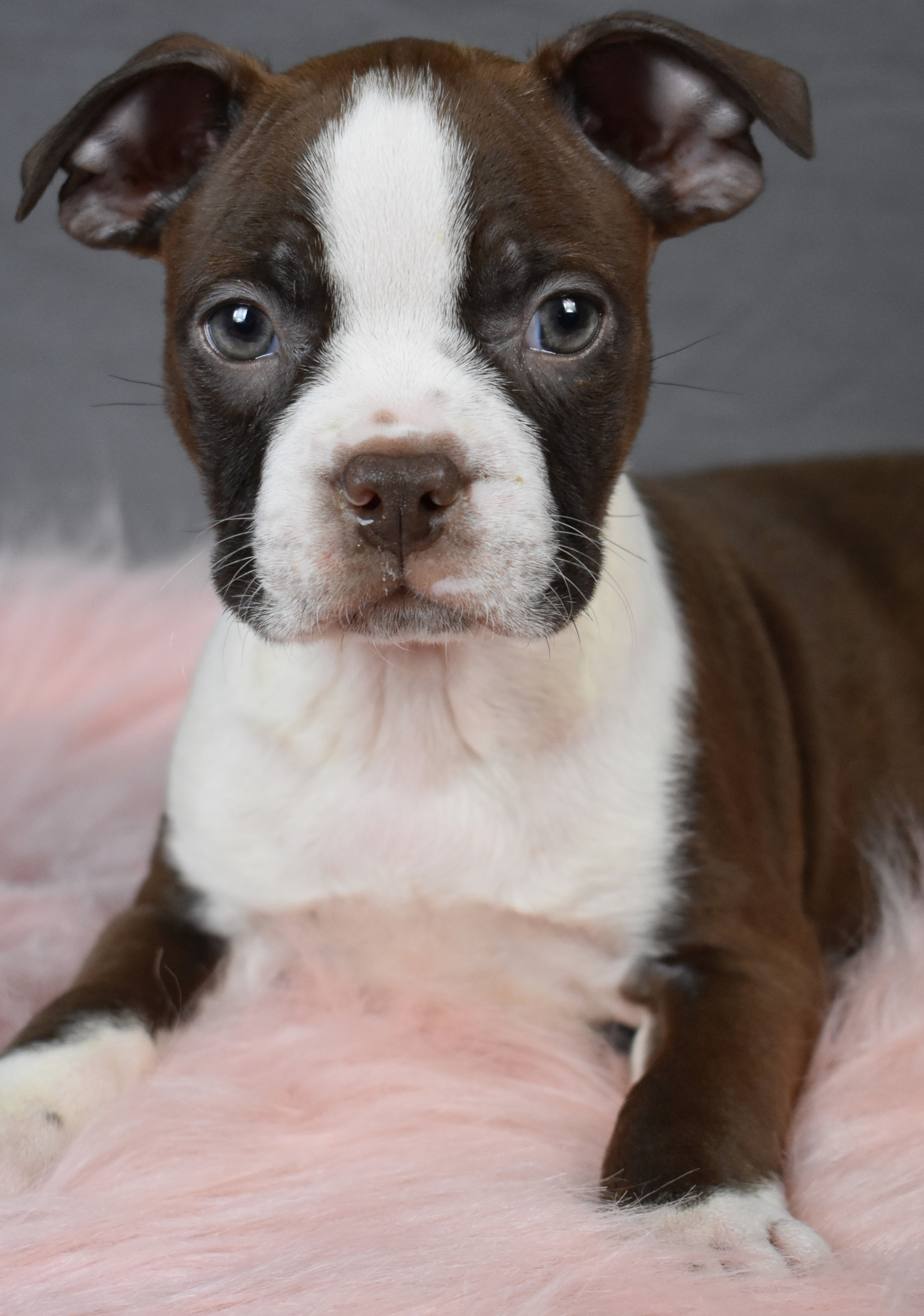 Puppies for Sale in 2020 Boston terrier, Dog breeder