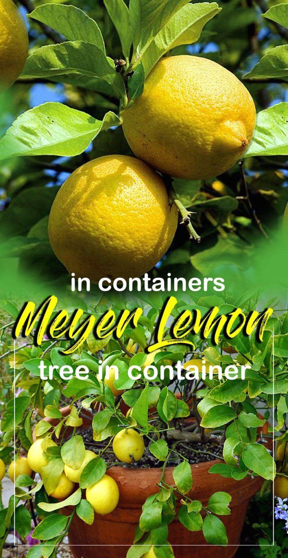 How To Grow Lemon Tree In Pots Growing Meyer Lemon Naturebring 1000 Lemon Tree Potted Growing Lemon Trees Meyer Lemon Tree