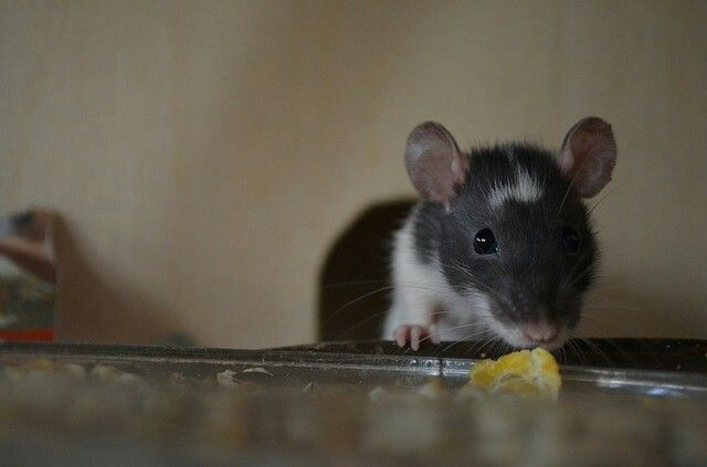 Black White Rats Farbratten Ratte Haustier Haustiere