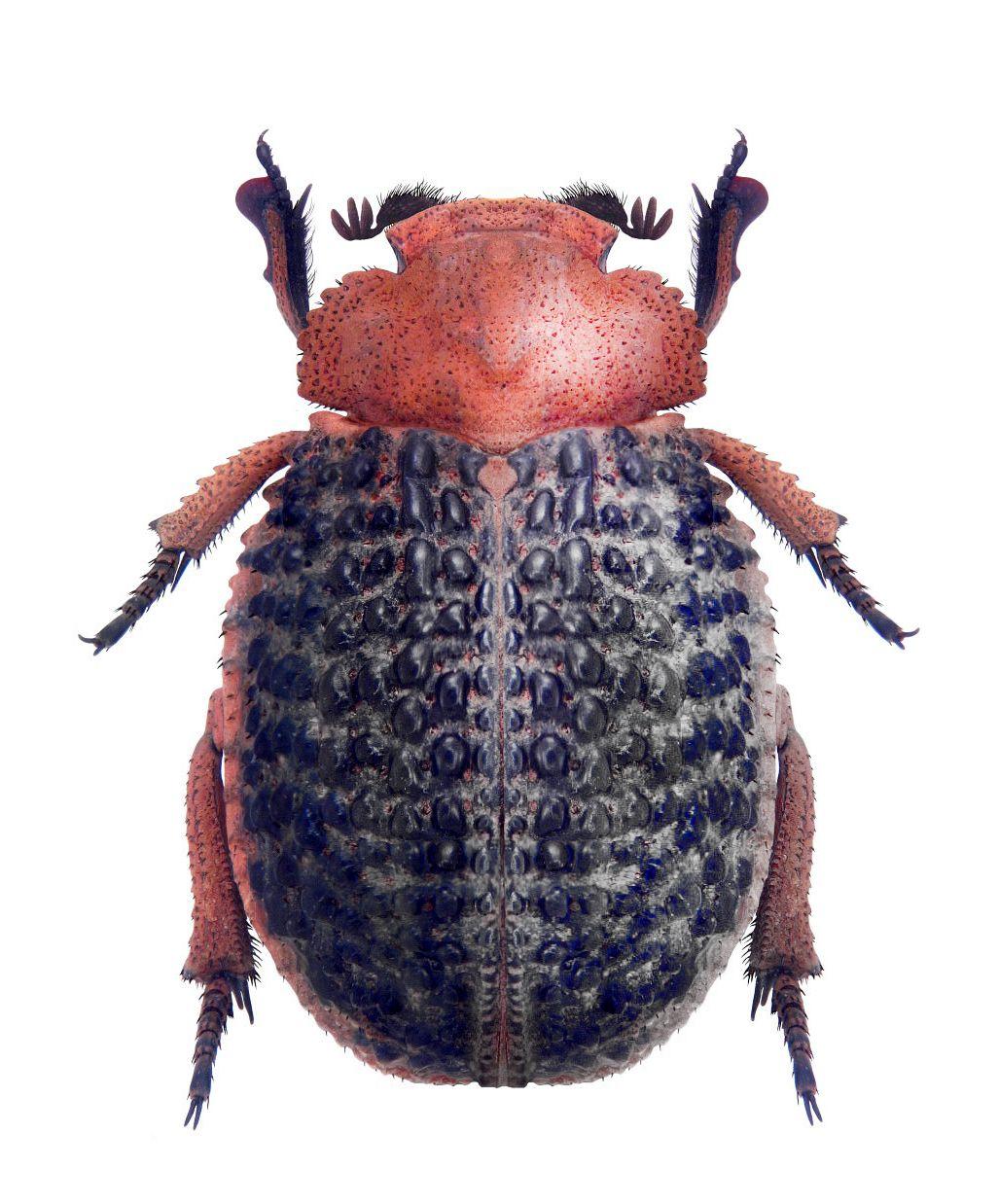 Trox Baccatus 甲虫類 タマムシ 虫