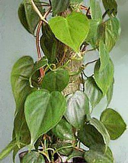 Philodendron filodendro filodendron planta filodendro for Planta filodendro
