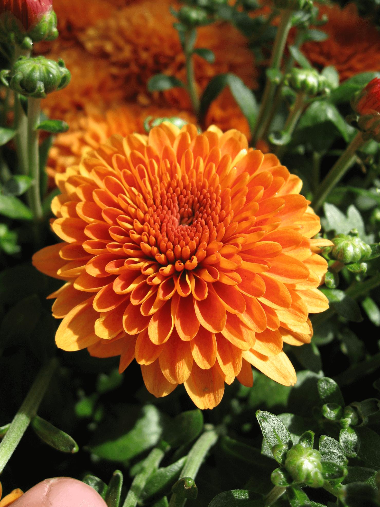 Chrysanthemum Orange Chrysanthemum Flowers Online Chrysanthemum Flower