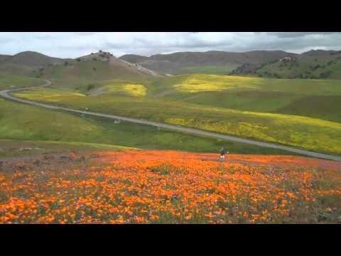 Calif Wildflowers-go now!