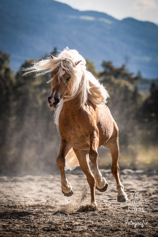 The Pixel Nomad Haflinger Stallion With Long Mane In 2020 Horses Horse Photos Haflinger Horse