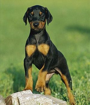 Doberman Pinscher breed info,Characteristics