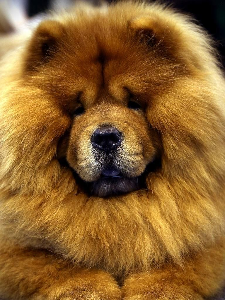 A Chow Chow Is Seen At Crufts Dog Show Chow Dog Breed Chow