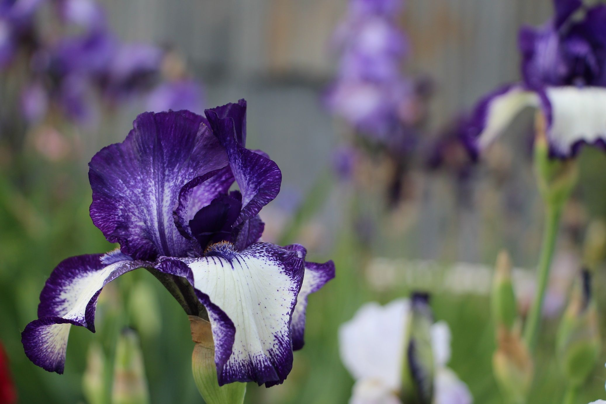 Visiting a flower farm lots of irises peonies tattoos visiting a flower farm lots of irises peonies izmirmasajfo Image collections