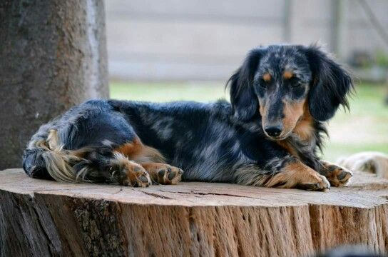 Pin On Miniature Long Hair Dachshunds