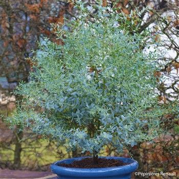 Eucalyptus gunnii \'France Bleu\' ® : conteneur 10 litres | Jardin ...