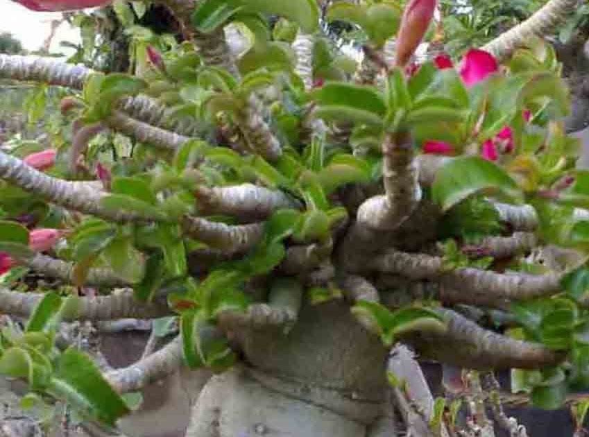 If The Leaves Suddenly Turn Yellow And A Lot Of Ideas Can Can Is A Sign Of Root Rot Adeniu Desert Rose Plant Plant Leaves Turning Yellow Plant Leaves Turning