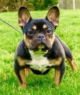 French Bulldog With Unusual Markings Bulldog Bulldog Puppies