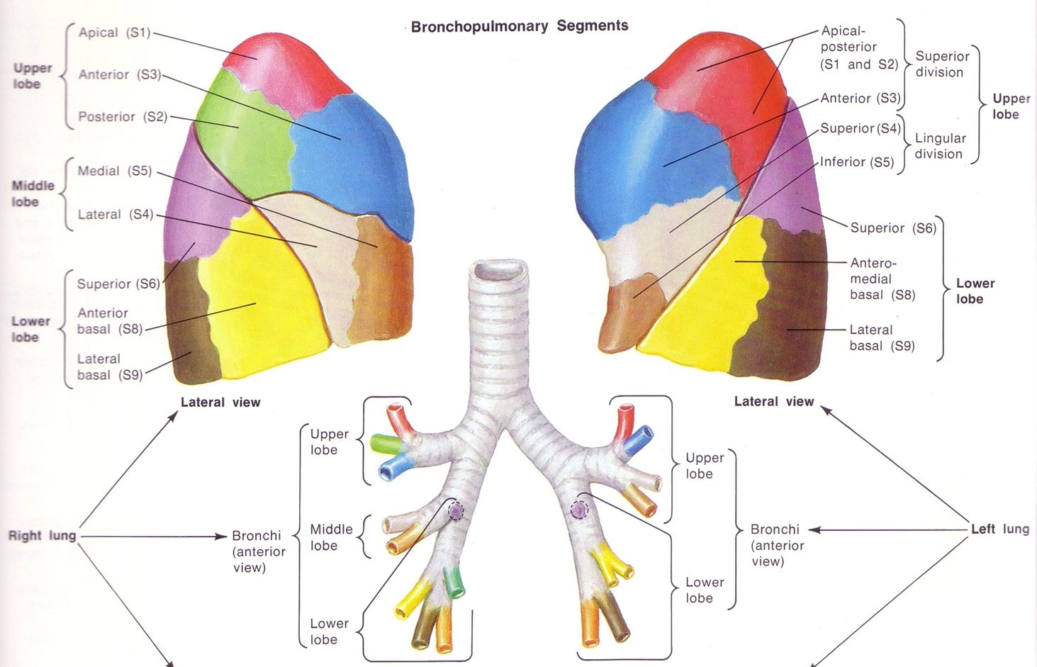 Anatomy Lung Lobes Images Human Anatomy Learning Anat Lung