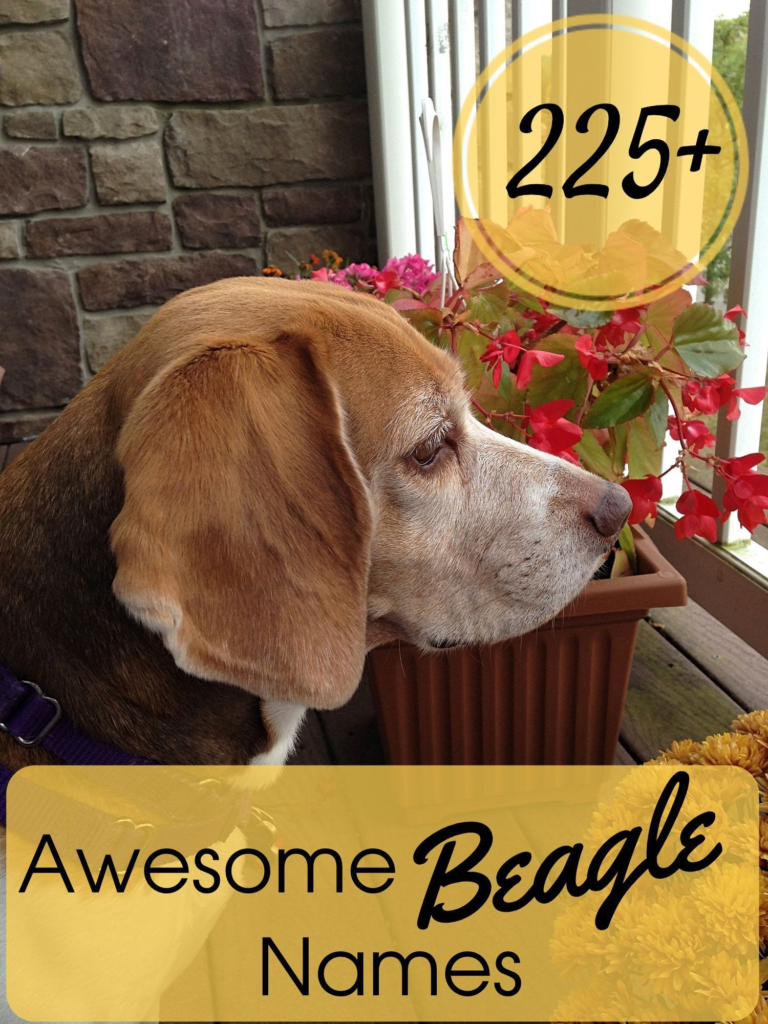 225 Awesome Beagle Names Beagle Names Beagle Beagle Puppy
