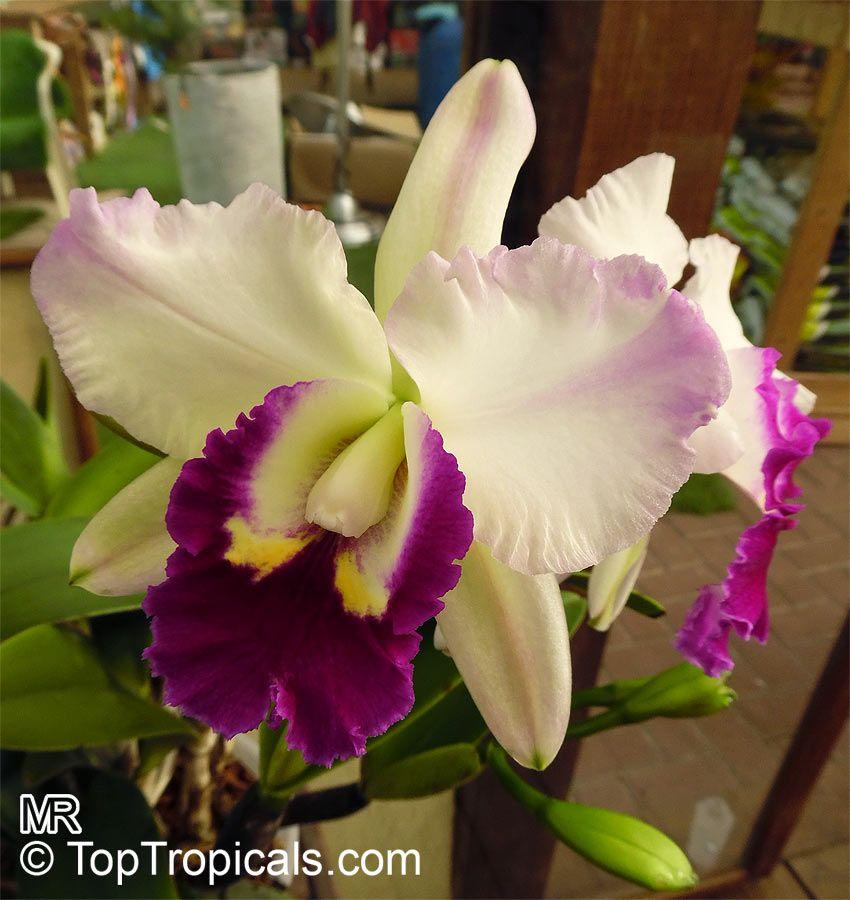 Cattleya Labiata Semi Alba In 2020 Orchidaceae Cattleya Purple Flowers