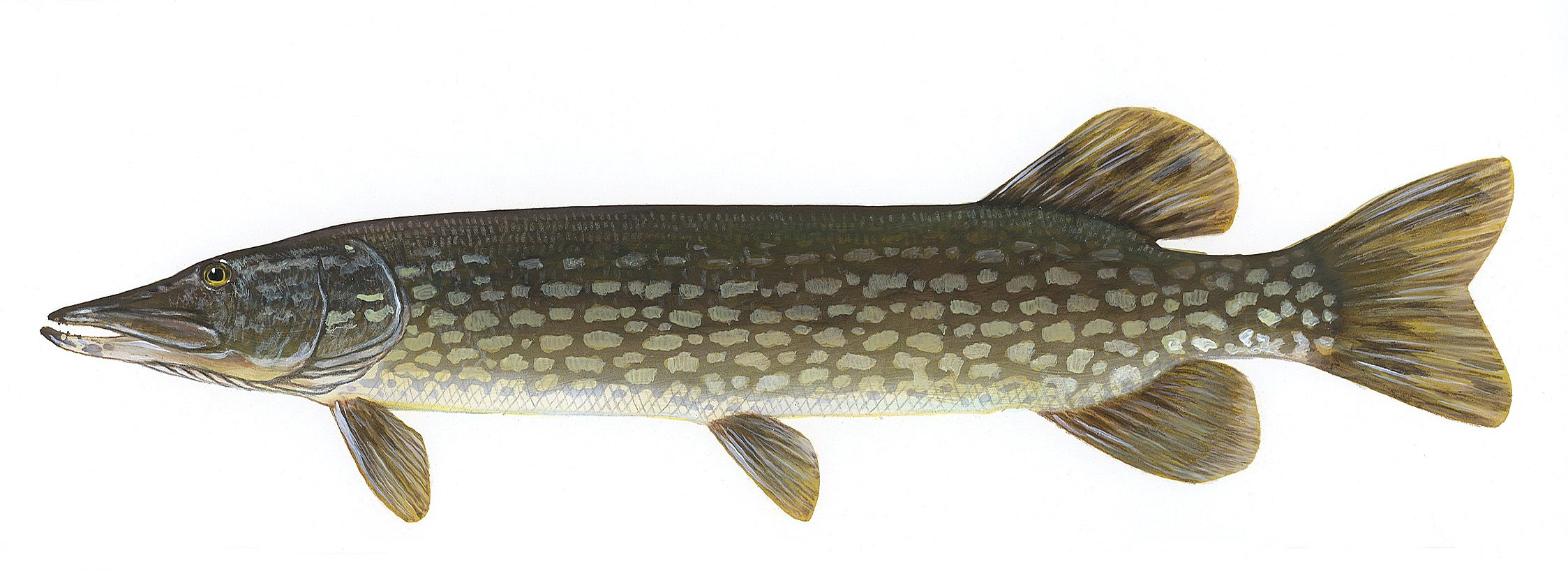 Freshwater fish online canada - Northern Pike