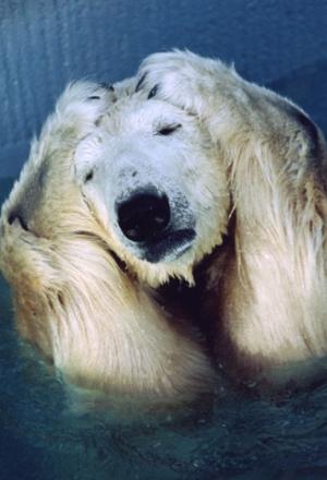 oh no ! Urso branco, Ursos, Mamãe urso