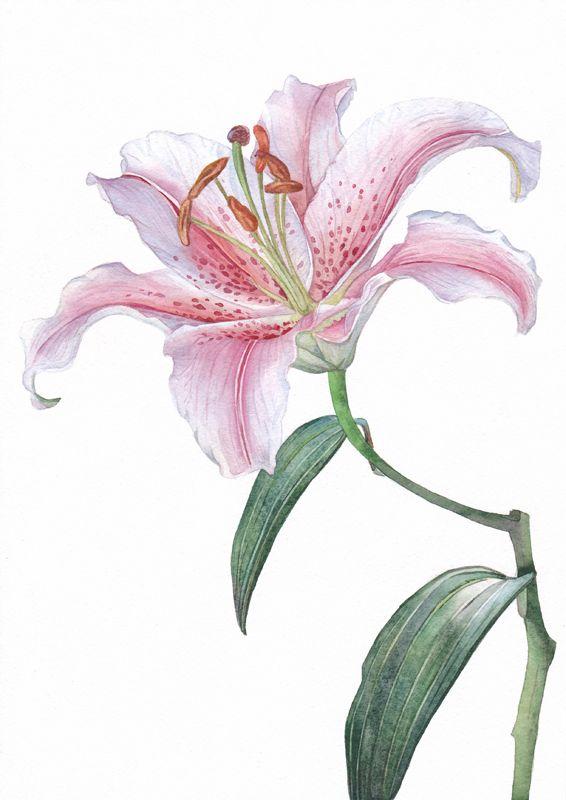 Рисунок лилии акварелью