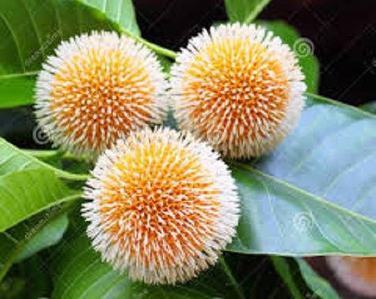কদম ফুল Kadamba flower  That's a rainy season flower in Bangladesh