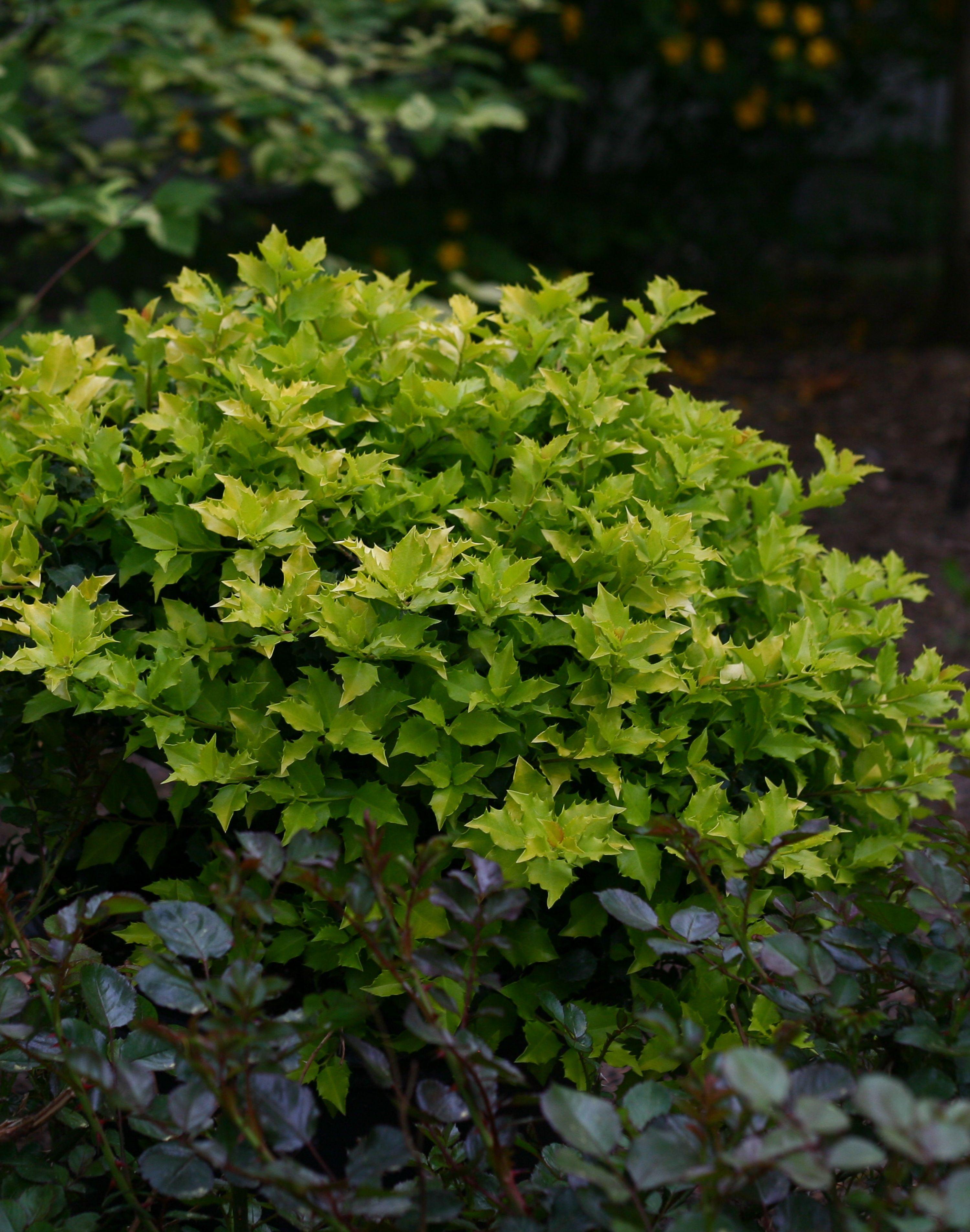 Pharos Gold Blue Holly Ilex x meserveae