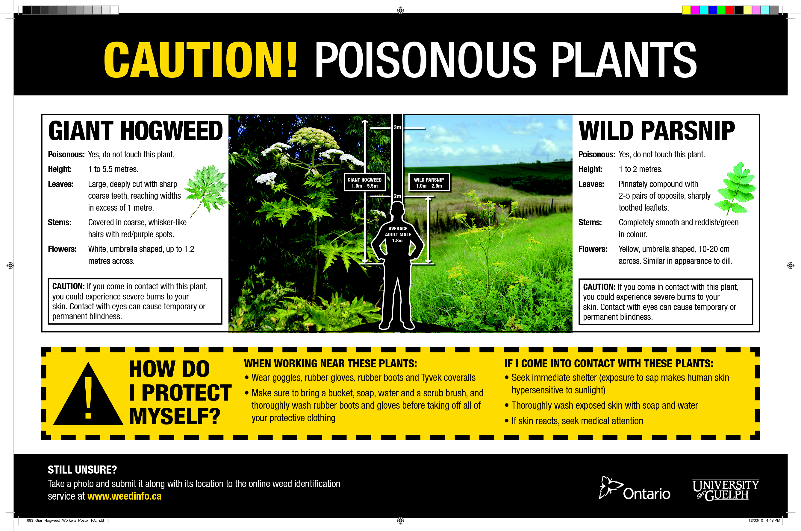 Poison+Parsnip+Burns | GIANT HOGWEED WILD PARSNIP