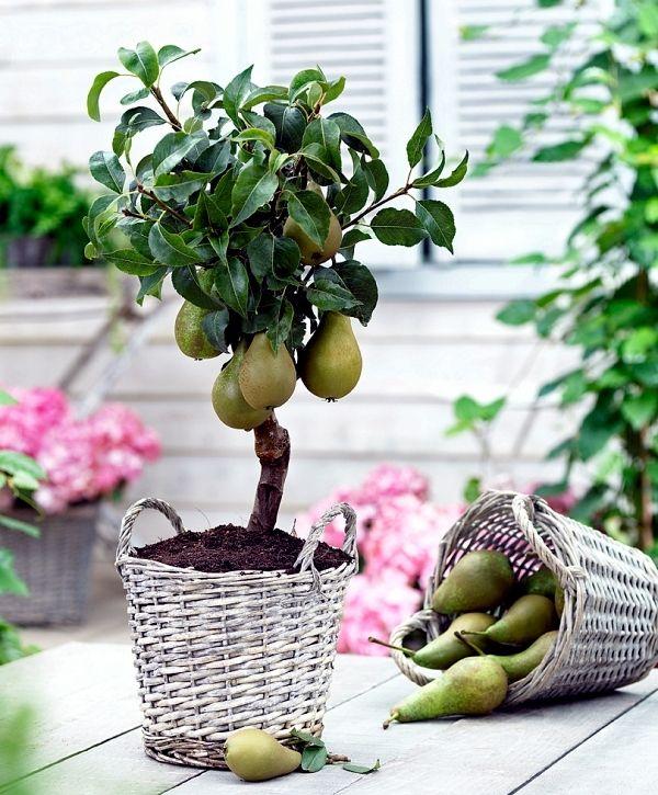 growing dwarf fruit trees in pots