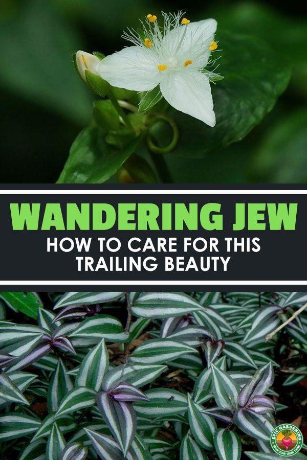 Wandering Jew Plant: Care, Types, and Growing Tips #wanderingjewplant