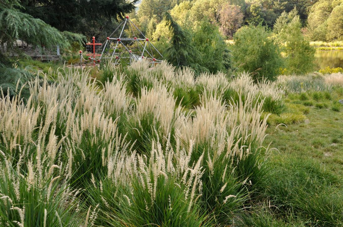 Pennisetum 39 fairy tails 39 fairy tails fountain grass an for Blue fountain grass