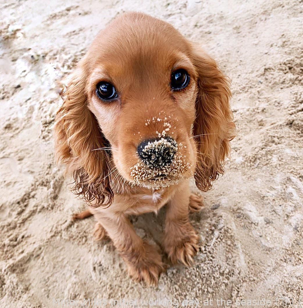 Catsanddogs Very Little Milas First Day At The Beach Front Brand New In 2020 Spaniel Puppies Cocker Spaniel Puppies Puppy Dog Eyes