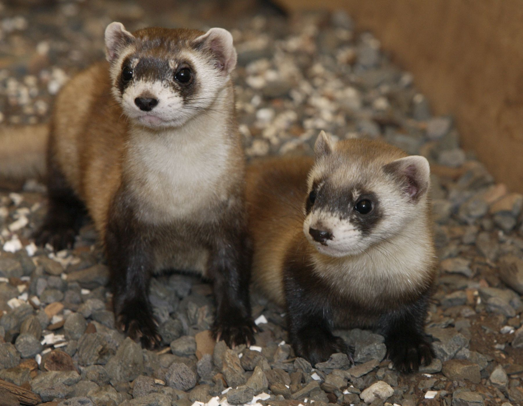 Pin By Frito Bandito On Endangered Endangered Animals Cute Ferrets Cute Endangered Animals