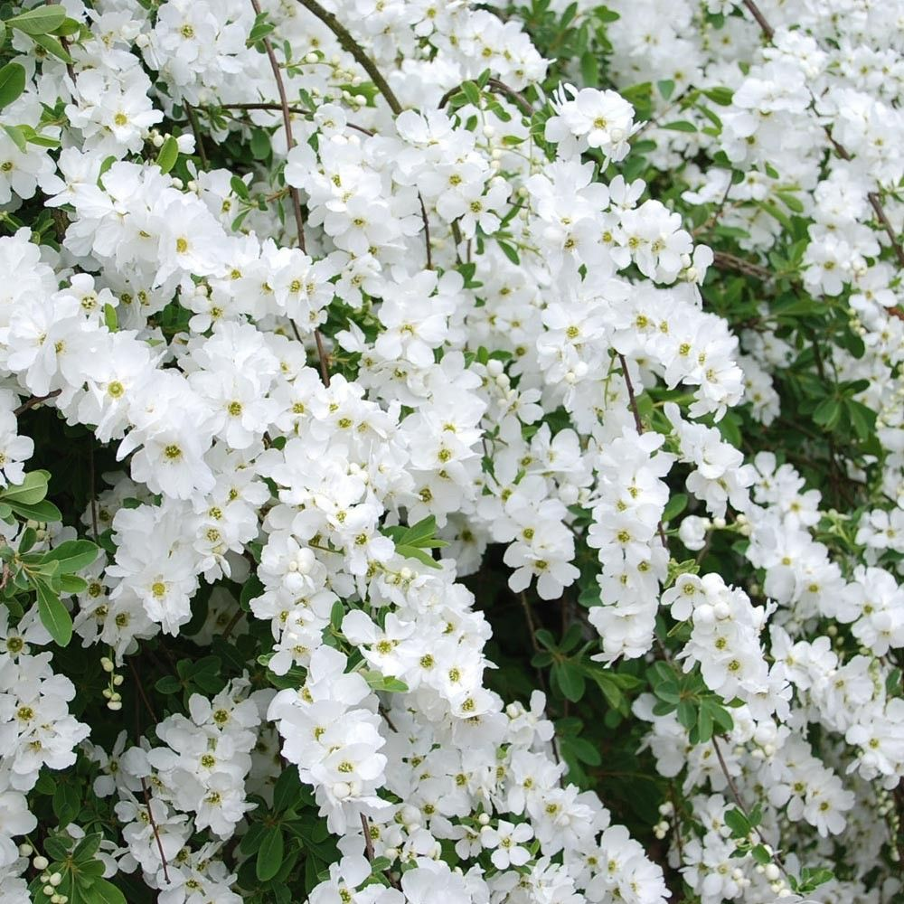 Rampicanti Adatti In Vaso pin su aiuole giardino fai da te
