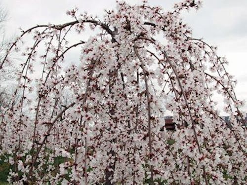 Spring Flowering Trees Pretty In Pink And White Spring Flowering Trees Flowering Trees Deciduous Trees