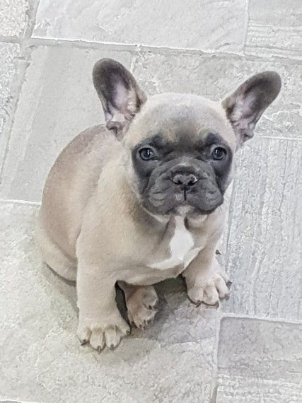 Adorable Blue Fawn French Bulldog Puppies 4 Sale Bulldog Puppies Fawn French Bulldog French Bulldog Puppies