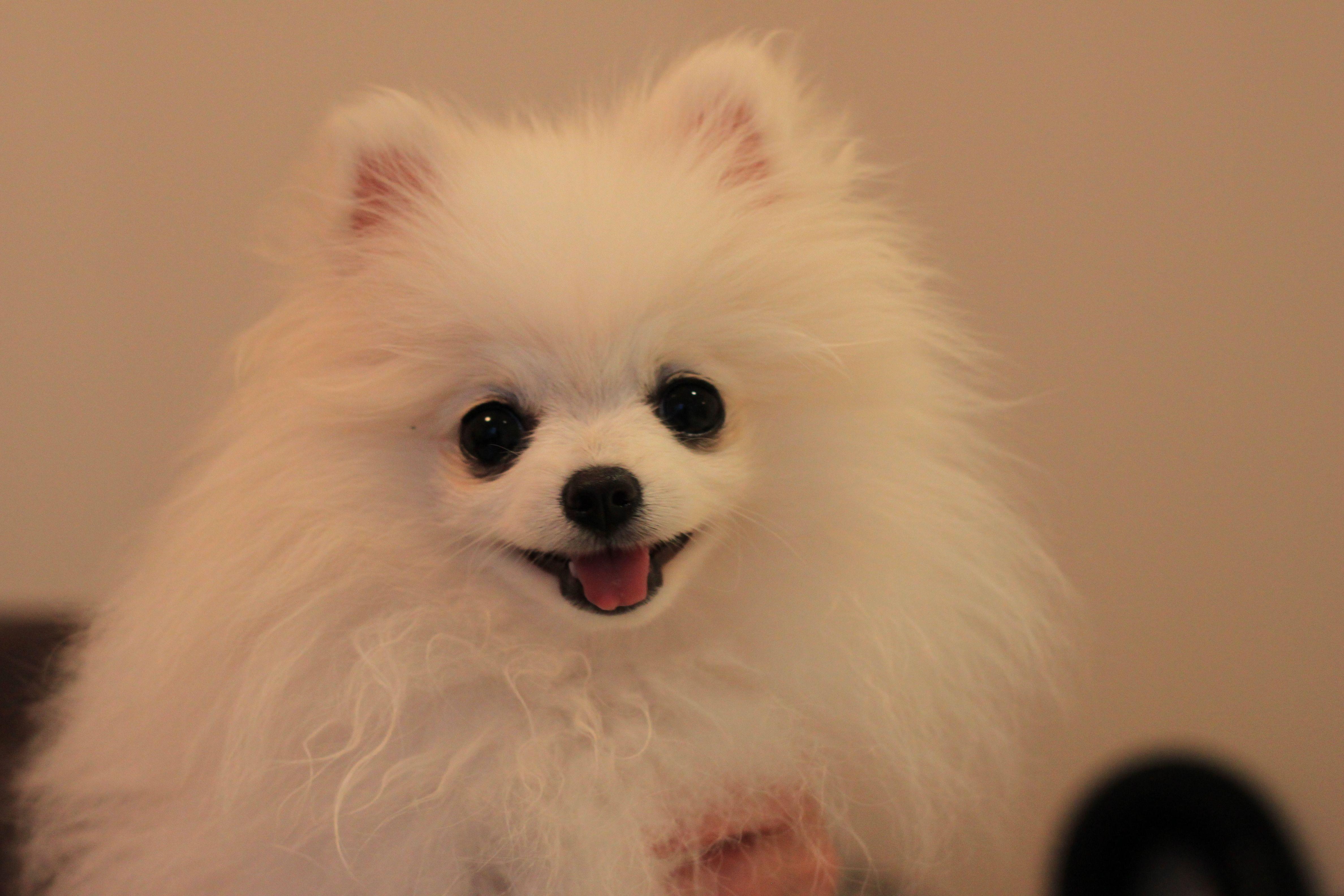 Teacup Size White Colour Purebred Pomeranian Puppy Pomeranian Puppy Pomeranian Russian Blue