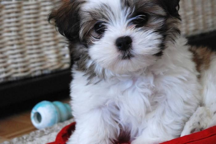 Shih Tzu Maltese Malshi I Have 2 Of These A 3rd Would Be Nice