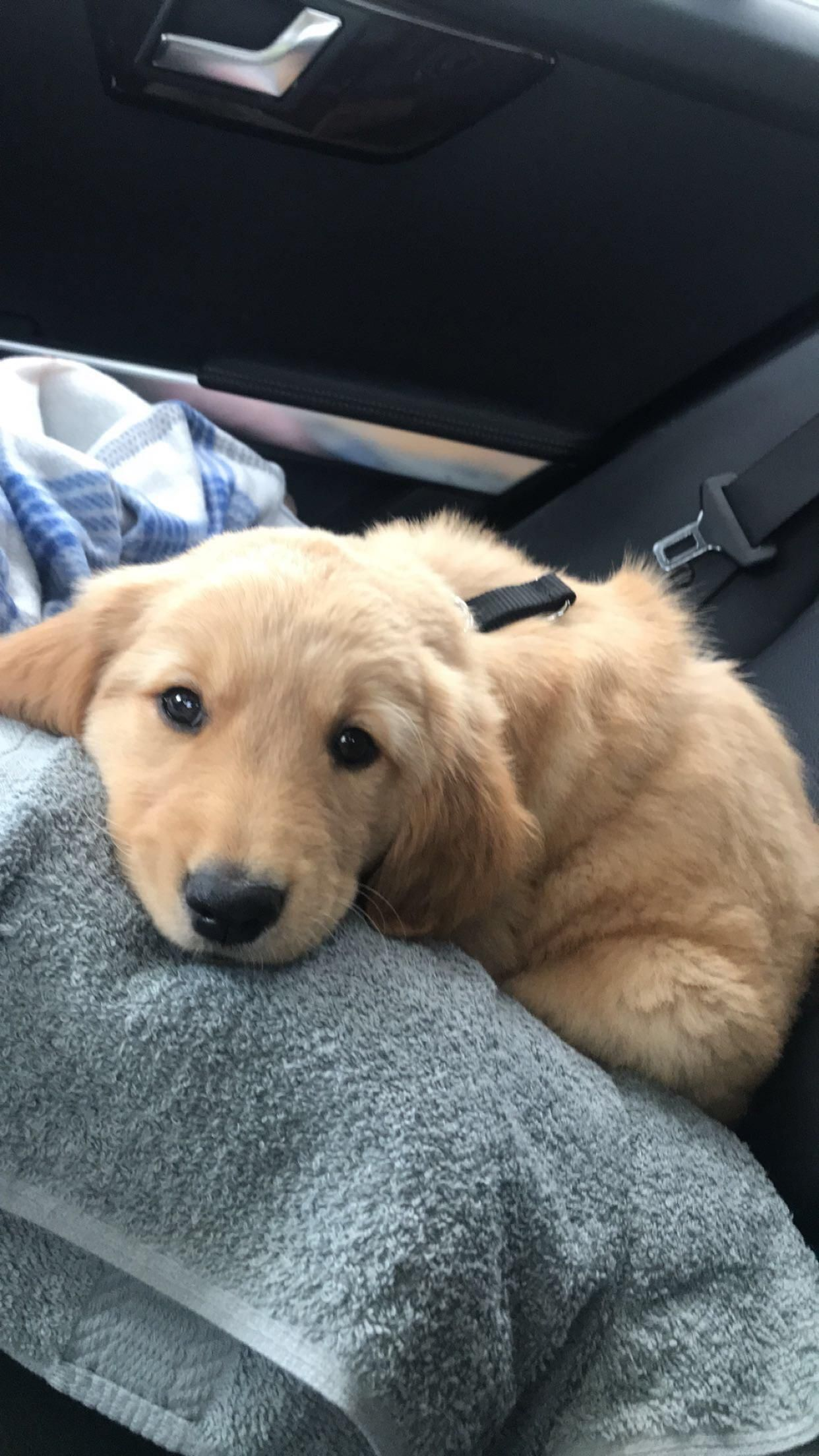 47 Adorable Golden Retriever Mix Breeds Golden Retriever Dogs Golden Retriever Dogs And Puppies