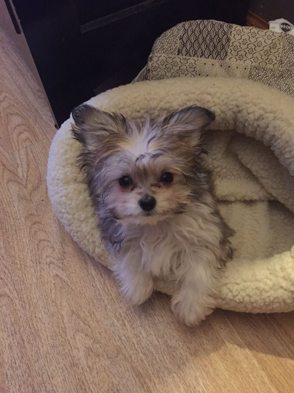 Malchi Maltese Chihuahua Puppy Teacup Lalaladiva Puppies