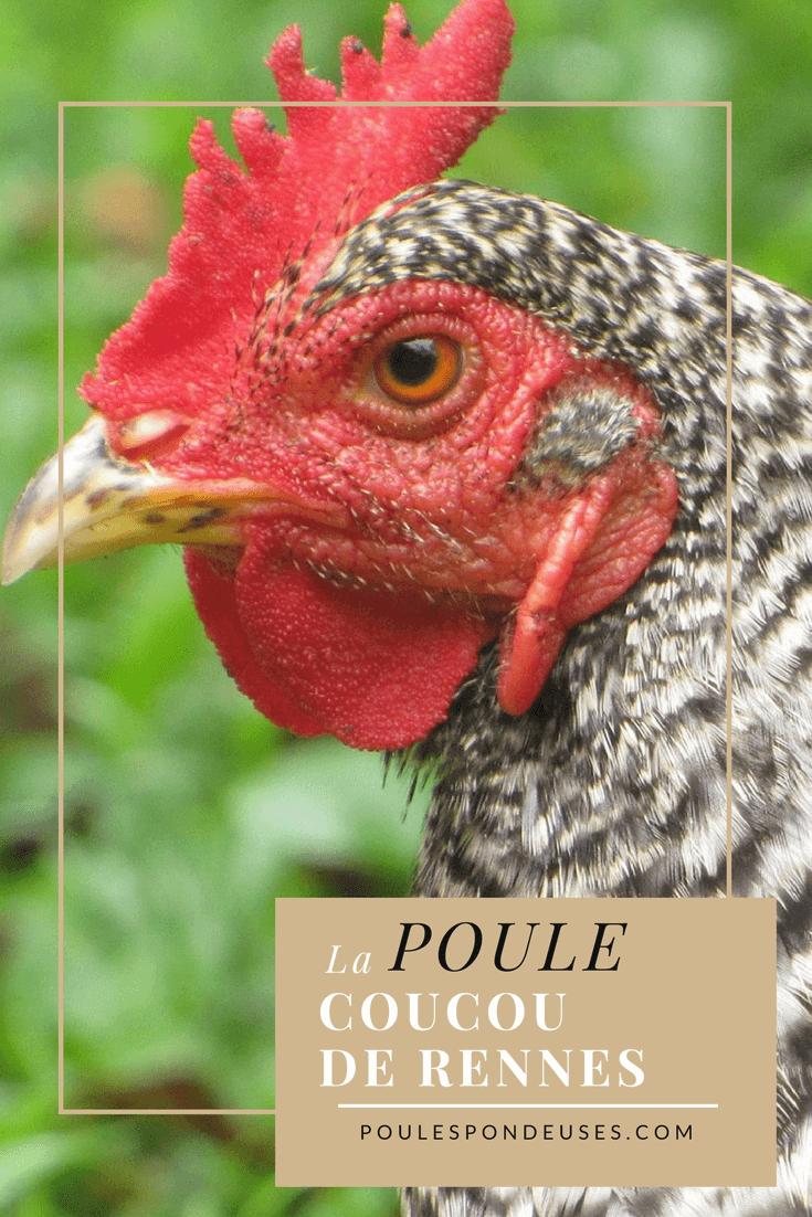 Coucou de Rennes une poule de chair et bonne pondeuse