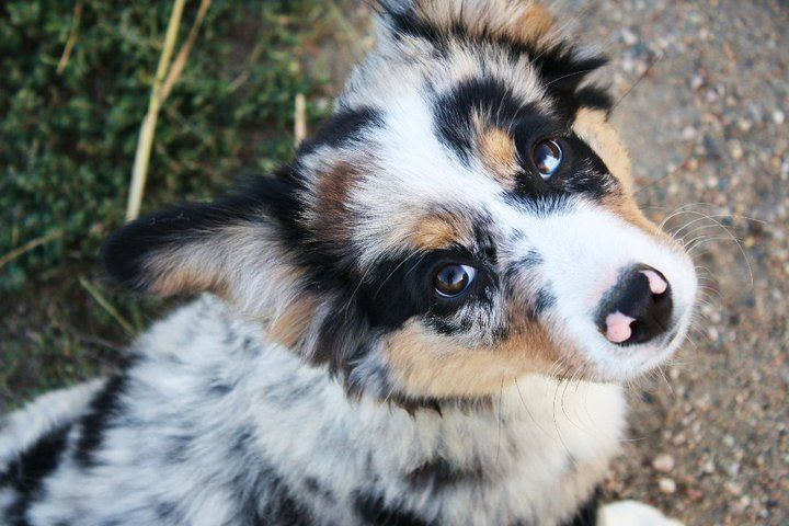 These are what the Auggies x mini aussie) look like