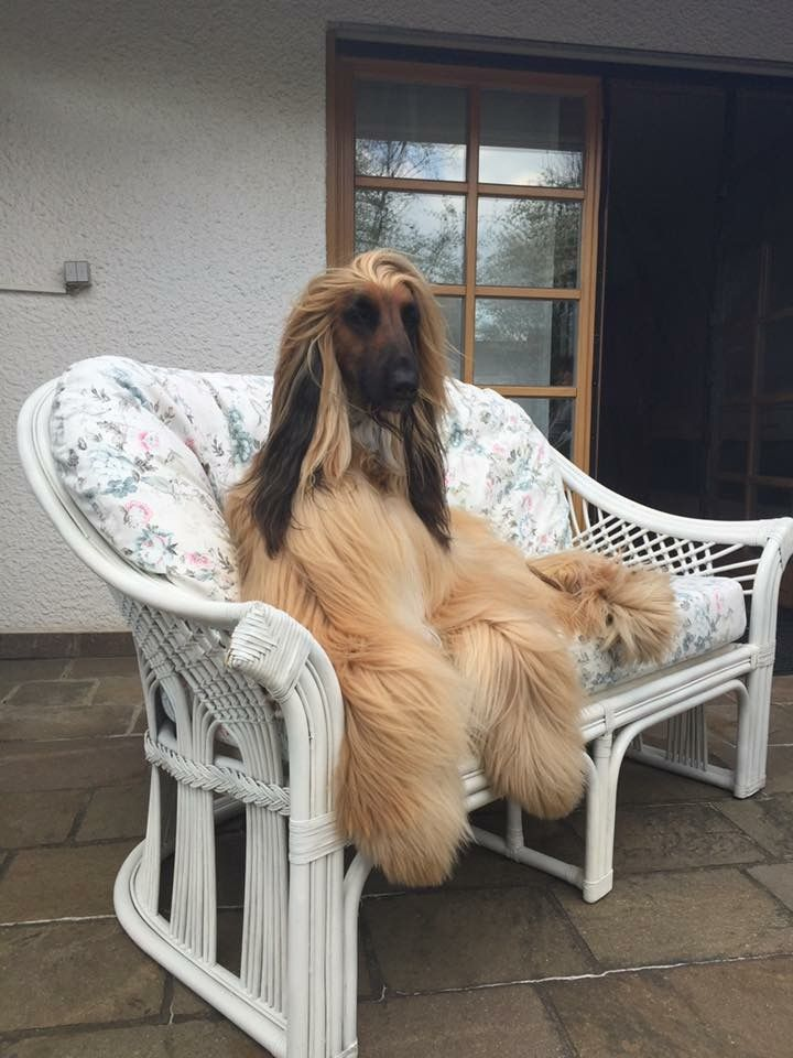 Mi Channel Afghan Hound Boo The Dog Hound Dog