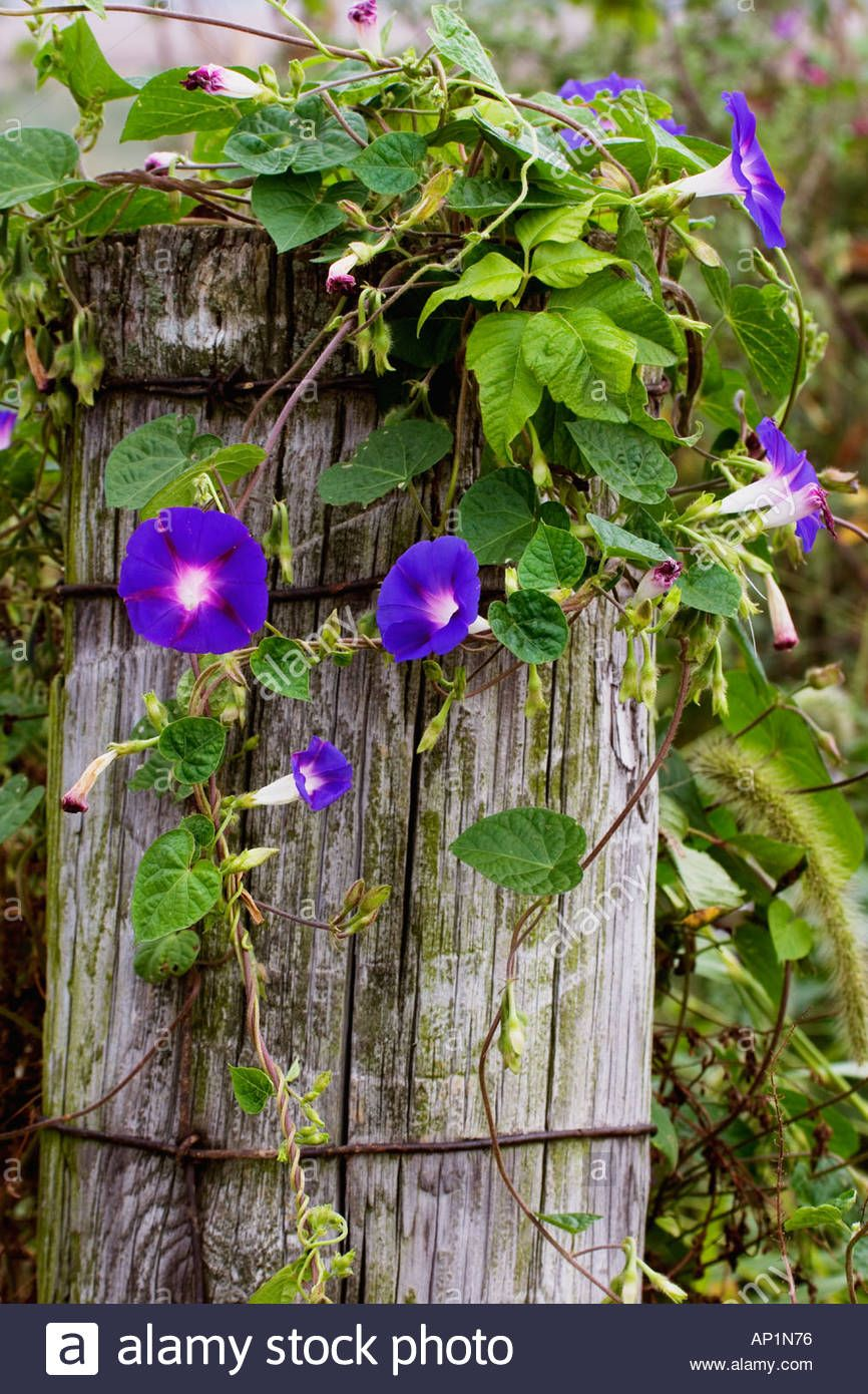 Common Morning Glories Growing On An Old Fence Post Ipomoea Fence Art Easy Fence Fence Landscaping