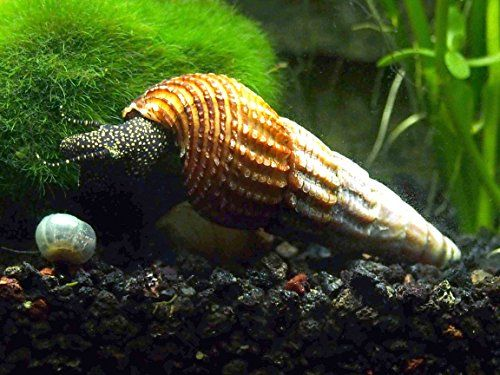 Amazon Com 3 Giant Sulawesi Rabbit Snails 1 3 From Indonesia Very Seldom Available By Aquatic Arts Formerly Invertobsessio Snail Aquatic Arts Sulawesi