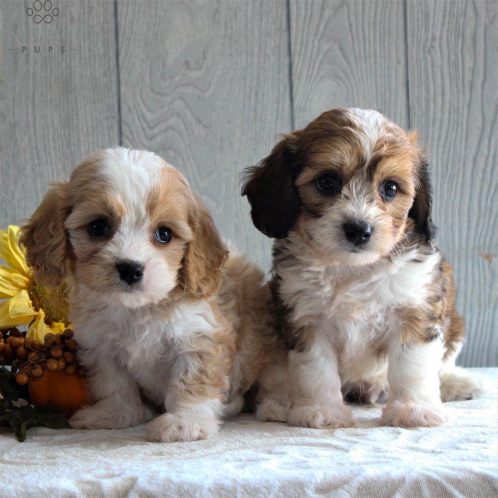 Sonny F1 Cavachon Puppies Cockapoo Puppies For Sale Cavachon