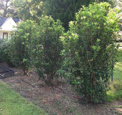 fragrant tea olive shrub sweet