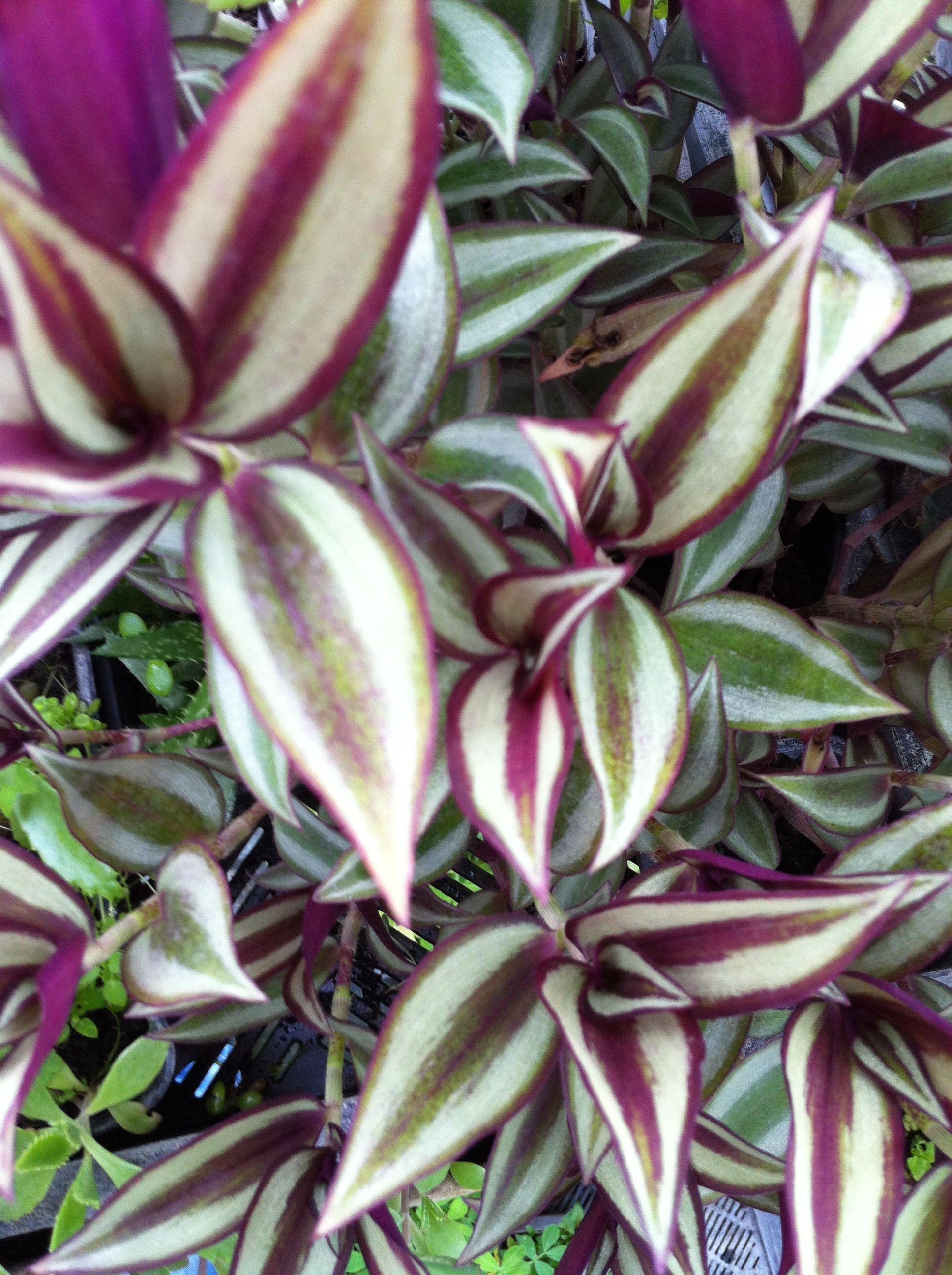 Plante D Intérieur A Faire Pousser plant de misère pourpre à planter (tradescantia zebrina