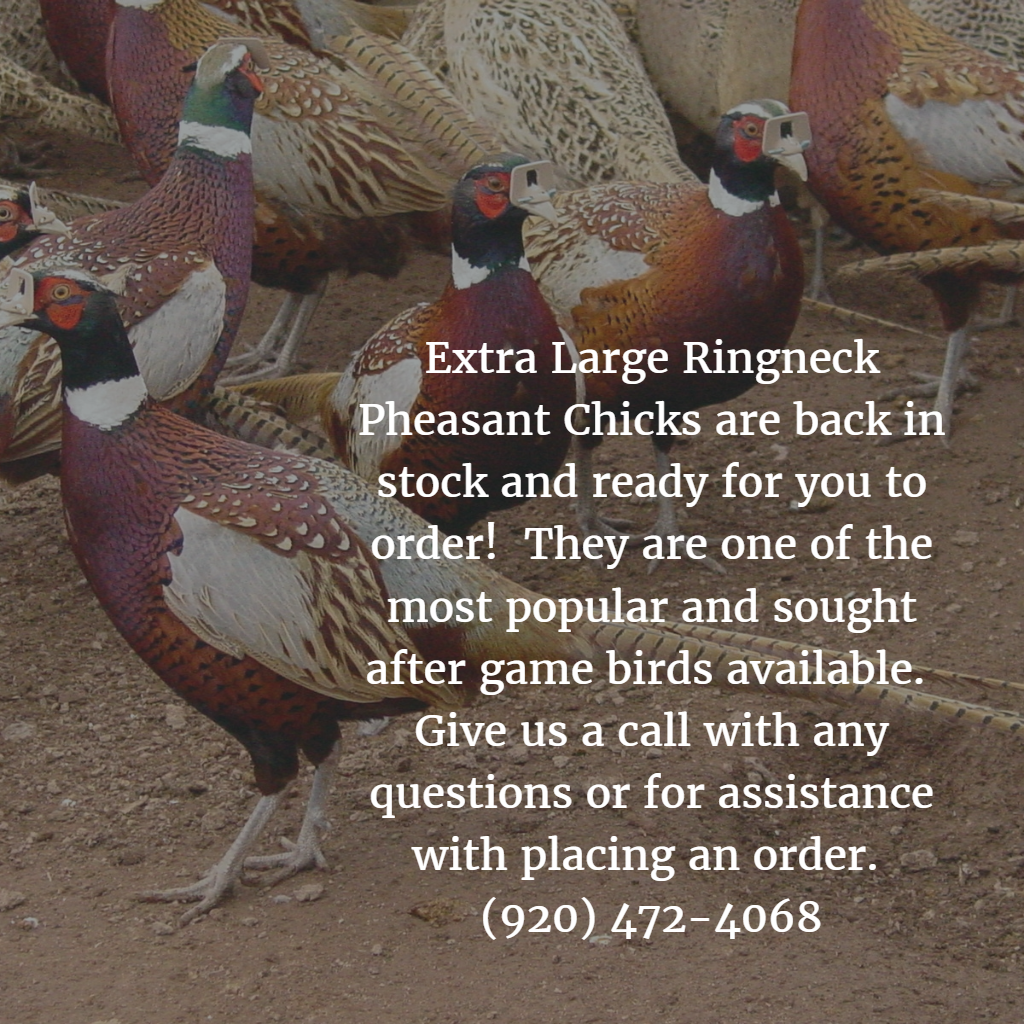 extra large ringneck pheasant are back in stock and ready